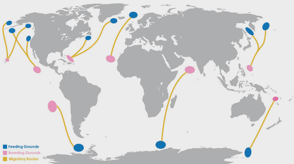 migratory routes of the humpback whale